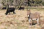 Brazoria County, Damon, Texas; a donkey stands in the pasture with black Angus cattle to protect the calves from Coyote
