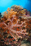 Colourful soft corals (Dendronephthya sp.) adorn the stunning reefs of southern Raja Ampat, West Papua, Indonesia