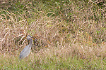 Brazoria County, Damon, Texas; a great blue heron standing at the edge of the slough with a snake in its beak on an overcast morning in late fall