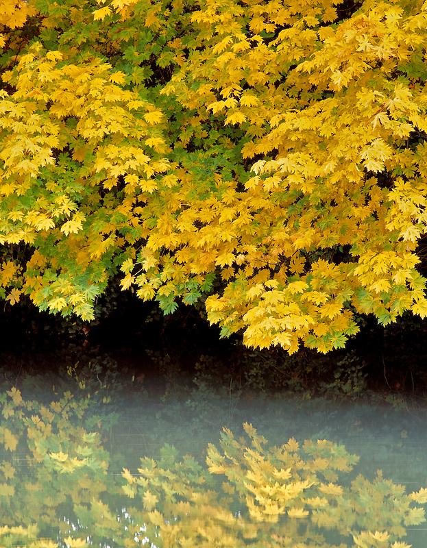 Big Leaf Maple (acer macrophyllum) at streamside in fall color. Cottage Grove, Oregon