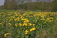 Sumpf-Dotterblume, Sumpfdotterblume, Sumpf - Dotterblume, Bestand auf einer Feuchtwiese, Wiese, Caltha palustris, Kingcup, Marsh Marigold, Populage des marais