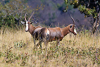 Blesbuck, Mlilwani, Swaziland