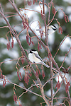 Black-capped chickadees perched in a speckled alder.