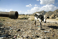 Eritrea. Anseba province. Keren. An old etiopian tank ( T55 russian tank) destroyed during the war for independence. A black and white cow. Garbage heap. Mountains and traditional houses.  © 2006 Didier Ruef