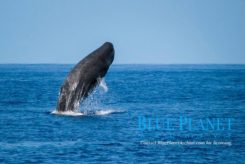 Sperm Whale Breach Sequence