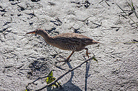 An endangered California Clapper Rail paces, searching for food, around a muddy bank in the wetlands along San Leandro Bay, Oakland, California.