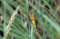 Schwarze Heidelibelle, Weibchen, Sympetrum danae, Black Darter, Black Meadowhawk, male