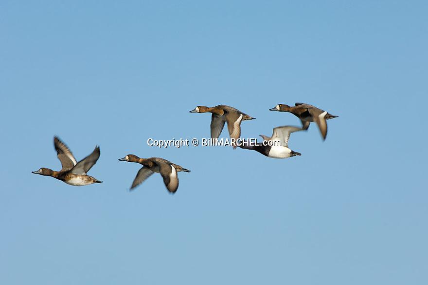 00342-007.02 Lesser Scaup (DIGITAL) flock in flight against blue sky.  Bluebill, action, hunt, waterfowl, wetland, fly.  H2L1