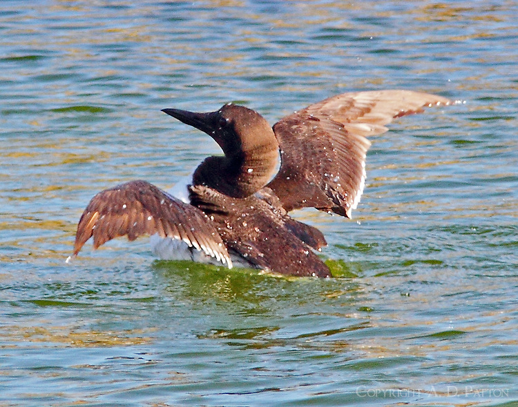 Common murre rsing out of water to shake off water