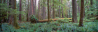 Douglas Fir (Pseudotsuga menziesii) Trees at Cathedral Grove in MacMillan Provincial Park, an Old Growth Temperate Rainforest near Port Alberni, Vancouver Island, British Columbia, Canada