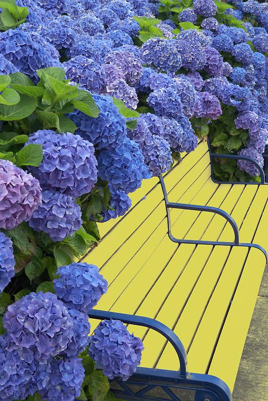 Bench surrounded with blooming Blue Bonnet hydrangea (Hydrangea macrophylla). Wilsonville, Oregon