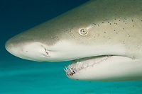 Close-up lemon shark (Negaprion brevirostris) portrait in the Bahamas