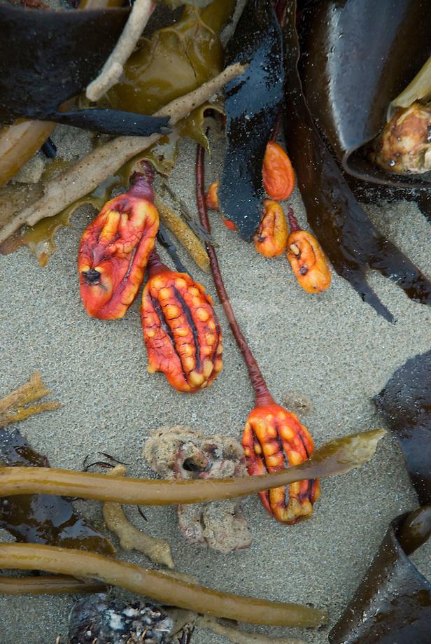 Aangespoelde wieren op de Australische kust