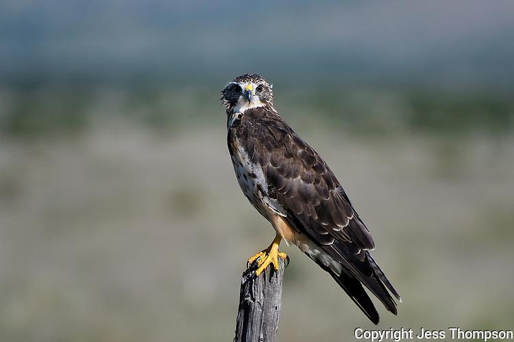 Swainson's Hawk, Texas roadside