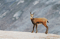 Chamois (Rupicapra rupicapra), young, Grimsel, Bern, Switzerland, Europe