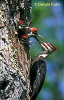 1P06-002z  Pileated Woodpecker - feeding young - Dryocopus pileatus or Hylatomus pileatus