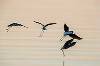 Black-necked Stilt (Himantopus mexicanus mexicanus), Black-necked subspecies, in flight at dawn at the Salton Sea State Recreation Area, Mecca, California.