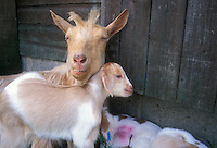 Mother goat nanny with kids, beige and white, long haired farm animal, against barn door, with ear identification tag and marks. Livestock