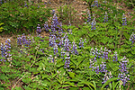 wild lupine in concord, new hampshire, this plant is critical habitat for the federally endangered karner blue butterfly.