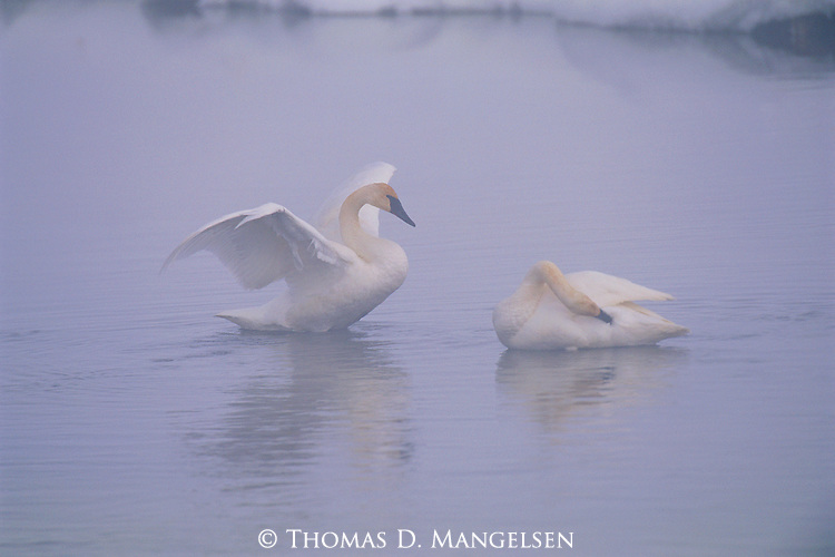 Swans awaken from a nap on Flat Creek in Jackson Hole, Wyoming.