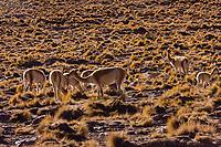 vicuna in the Puna de Atacama