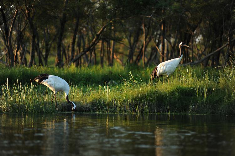 Japanese crane in the Kushiro River in Kushiro Wetlands in sunset.