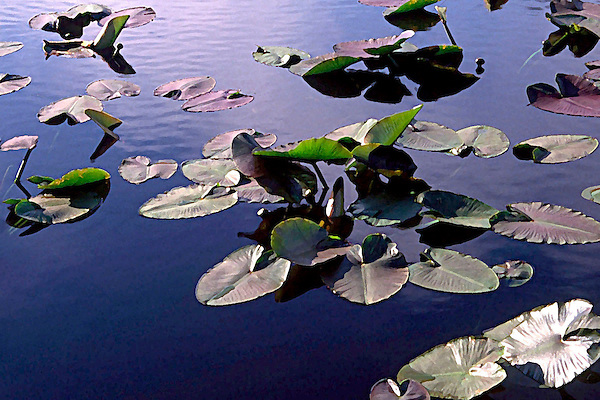 Lilly Pads Floating In Silence