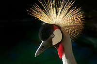 Close up of Grey-crowned Crane. Hawaii, the big island