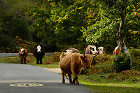 BNPS.co.uk (01202 558833)<br /> Pic: ZacharyCulpin/BNPS<br /> <br /> A highland cow in the village Bramshaw in the New Forest. Highland and Longhorn breeds would be exempt as they are 'lumbering beasts' that don't pose a threat to the public.<br /> <br /> Hundreds of cows in the New Forest are having their horns removed following a worrying rise in cattle attacks on dog walkers.<br /> <br /> While many owners are agreeing to dehorn their livestock to reduce the risk of serious injury to the public, others object and compare it to 'going into the jungle to remove the claws from a tiger.'<br /> <br /> They blame a 'decline in sensible behaviour among forest users' for the increase in the attacks.