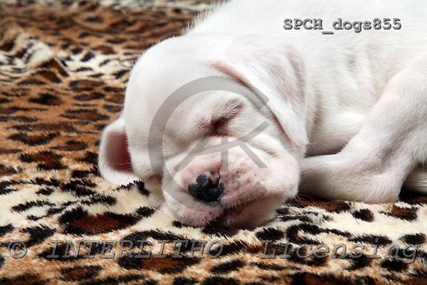 Xavier, ANIMALS, dogs, photos, SPCHDOGS855,#A# Hunde, perros
