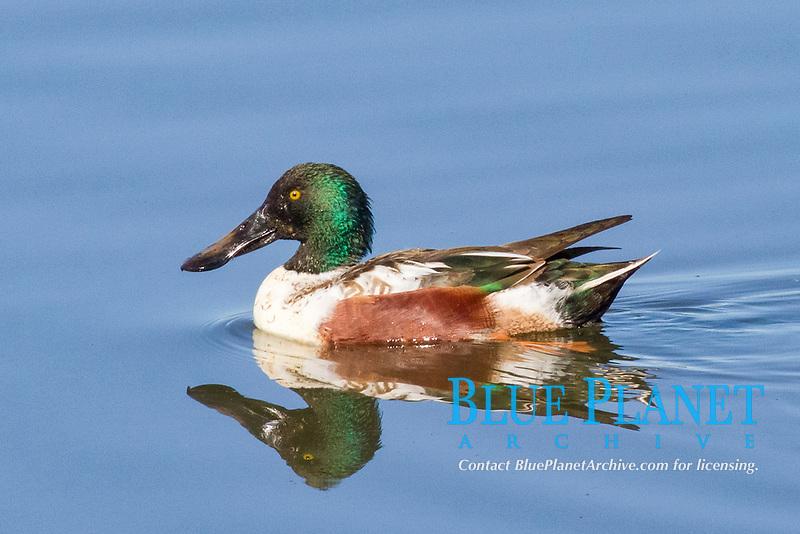 bird, Male Northern Shoveler Duck with reflection, Anas clypeata, Bolsa Chica Wetlands, California