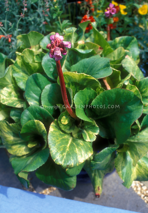 Bergenia cordifolia 'Tubby Andrews' variegated foliage perennial plant in flowers