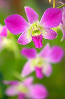Orchid. Dendrobium.