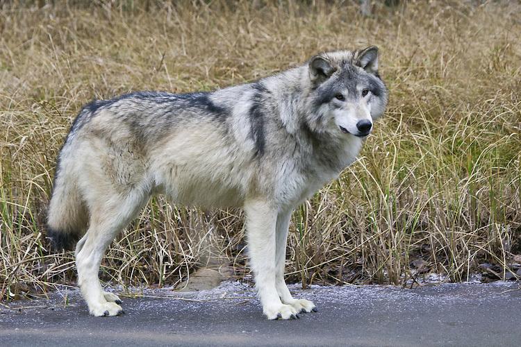 Grey Wolf standing on the ice along the shore of a pond - CA