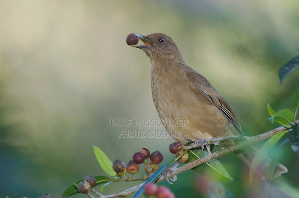 Clay-colored Robin, Turdus grayi, adult eating on fig tree fruits, Bosque de Paz, Central Valley, Costa Rica, Central America