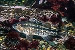 black sea bass juvenile resting on sea floor