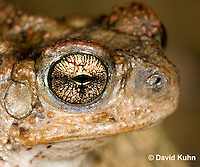 1101-0817  Adult Red-spotted Toad Close-up of Head  (Southwestern United States), Anaxyrus punctatus, formerly Bufo punctatus  © David Kuhn/Dwight Kuhn Photography.