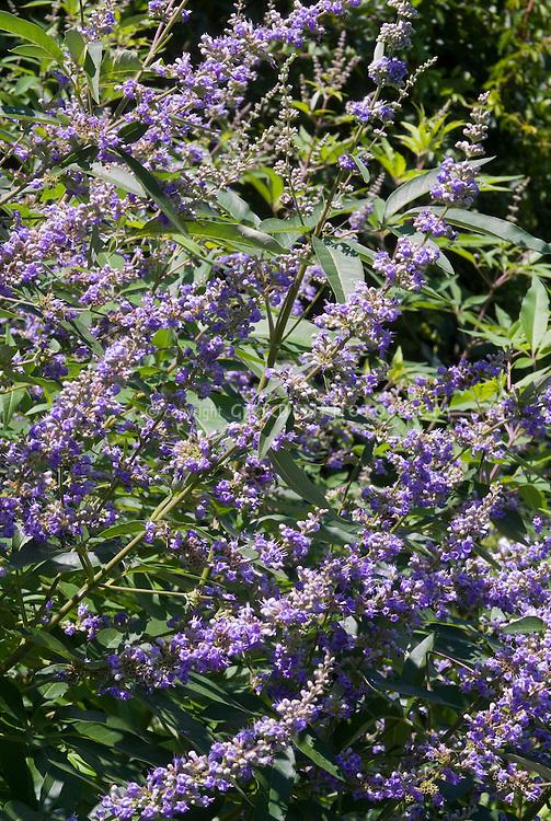 Vitex agnus-castus latifolia in summer flower, blue blooms shrub, Chaste tree