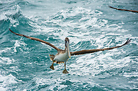 A Brown Pelican, Pelecanus occidentalis, flies over the Caribbean Sea near Gibara, Cuba