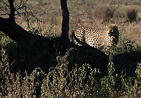 A cheetah is photographed in the Serengeti National Park in Tanzania.