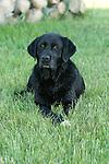 Black Labrador retriever (AKC) lying in the grass