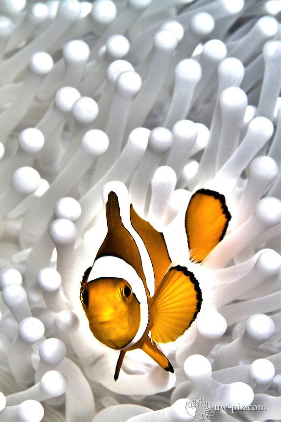 Nemo - clownfish on white anemone, Raja Ampat, Indonesia, june 2011