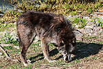 grey wolf male light chocolate mix color phase full body view facing right head down