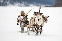 An Evenk man races a pair of reindeer at the annual Khatystyr reindeer festival. Evenki culture revolves around these animals, their livelihood and cultural identity hinging on their herds. An explosion of the wolf population has had a devastating impact on the reindeer herds that are the lifeblood for the indigenous Evenki people of the Siberian state of Sakha (Yakutia). In 2012 it was estimated that between 12,000 - 16,000 reindeer were lost to wolf attacks, at a cost of around 15,000 rubles (153.00 GBP) per animal. In response the local authorities introduced a three month hunt with a bounty to encourage hunters to target wolves with the aim of reducing their numbers from 3,500 to 500. Hunters earn 400 USD (280 GBP) per proven kill, plus a further 400 USD (280 GBP) selling the skin to the fur trade. Ion Maksimovic, the region's most celebrated wolf hunter, killed 23 wolves in 2014, more than any other hunter, and in doing so won a prize of 300,000 roubles (3,060 GBP) and a snowmobile.