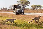 Cheetah (Acinonyx jubatus) twenty-one month old sub-adult siblings crossing road near tourists, Kafue National Park, Zambia