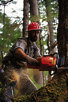 A logger in a hard hat uses a chainsaw to cut down a tree. Alaska.