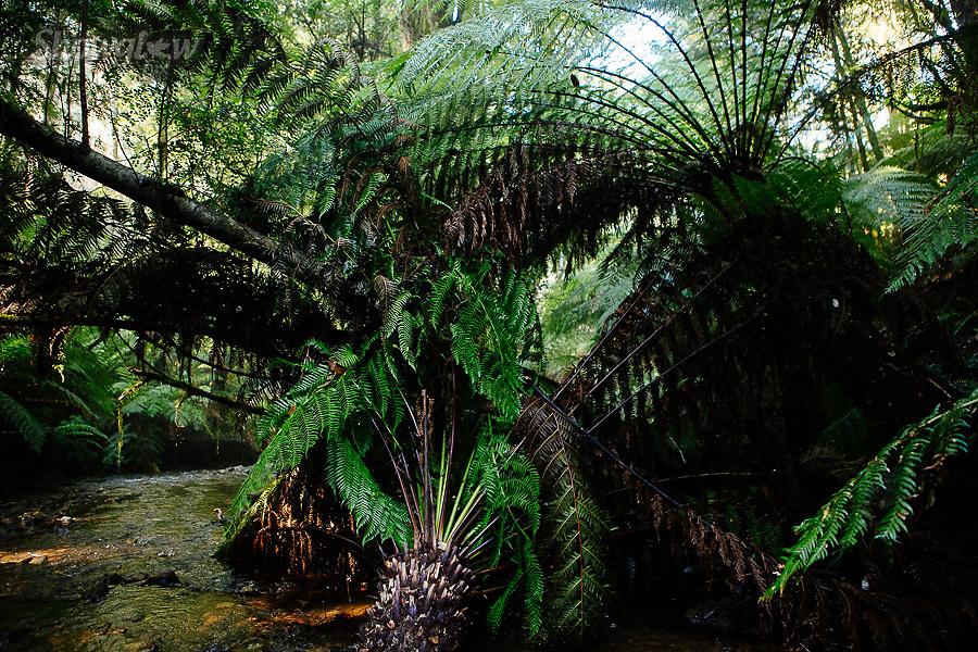 Image Ref: YR176<br /> Location: Wirrawilla Rainforest, Toolangi<br /> Date: 27.01.18