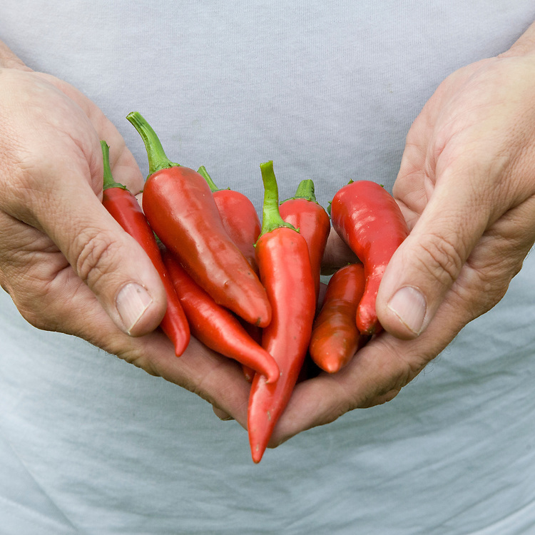 Home-grown 'Cayenne' chilli peppers.