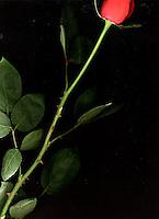 Rose stem<br />