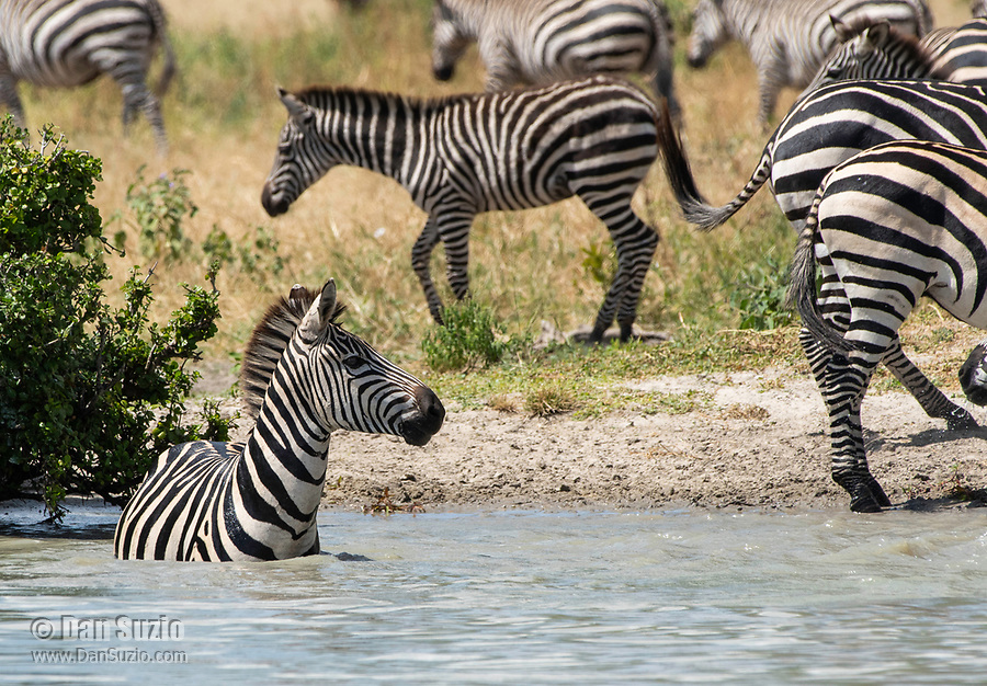 A Grant's Zebra, Equus quagga boehmi, wades into a pond in Tarangire National Park, Tanzania